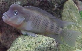 Lion head cichlid