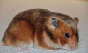 Free Syrian Hamster