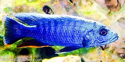 Pair Electric Blue Hap, Sciaenochromis ahli 1.25 inch African Cichlid GUARANTEED