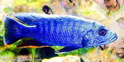 Four Fish Colony, Electric Blue Hap, Sciaenochromis ahli 1.25 inch  Cichlid