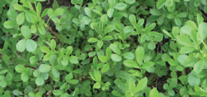 Certified Algonquin Alfalfa Seed FOR SALE