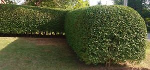 Hedge Trimming Peterborough Peterborough Area image 3