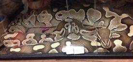 Big female lesser royal python