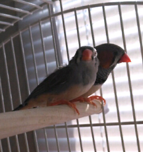 Pet Zebra Finches, TO EXPERIENCED HOME ONLY! P/u in Scarborough
