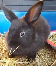 Baby Black Netherland Dwarf Cross Bunnies Caroline Springs Melton Area Preview