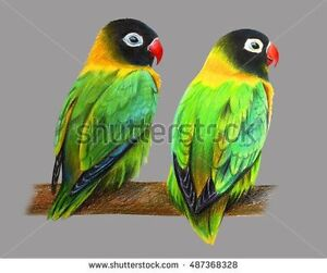 Looking to adopt a male lovebird or male canary
