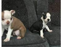Red Boston terrier puppies ready to go