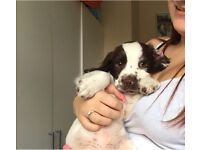 Springer spaniel puppy for sale