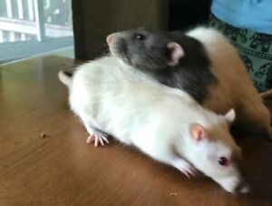 "Adult Male Small & Furry - Rat: ""Teddy & Bear"""