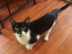 "Adult Female Cat - Domestic Short Hair: ""Martha"""