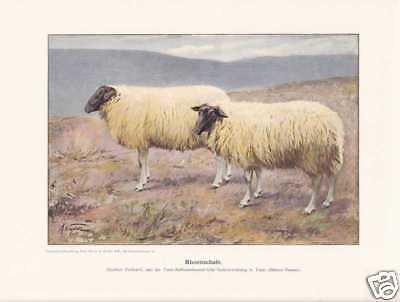 Rhönschaf Rhönschafe Schafrassen Farbdruck 1925 Reprint