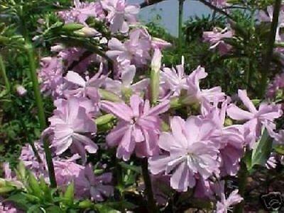 Seifen- Parfüm Blumen Samen / rosa blühende Pflanzen / Duft für Männer & Frauen - Blühende Kräuter Duft