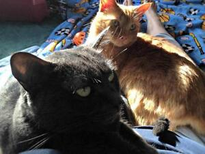 """Adult Male Cat - Domestic Short Hair: """"George Wesley"""" Strathcona County Edmonton Area image 2"""