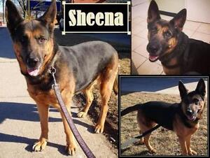 "Adult Female Dog - German Shepherd Dog: ""Sheena"""
