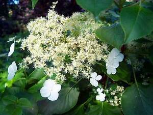 Hydrangea petiolaris climbing wall shrub white flowers 2 litre pot