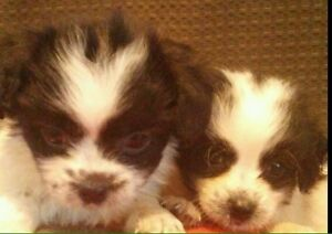 Shih poo puppies