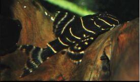 TROPICAL FISH, VARIOUS W/C PLECO L204 FLASH, L081 GOLDEN NUGGET , L333 TIGER