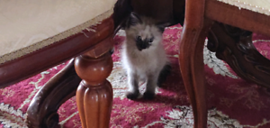Persian Cross Simese kitten