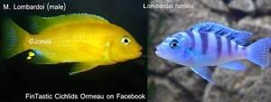 Lombardoi breeding colony.....very nice African Cichlids! Ormeau Gold Coast North Preview