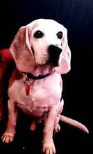 Male Beagle Missing in North Perth Banksia Grove Wanneroo Area Preview