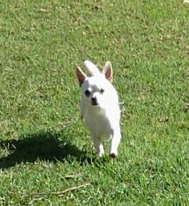 Purebred Chihuahua Male Registered St Marys Penrith Area Preview
