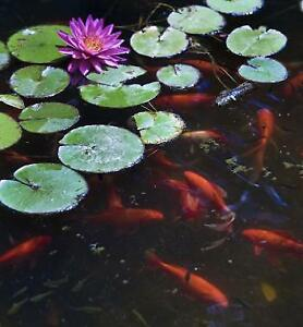Goldfish for your pond