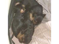Yorkshire terrier puls