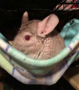 "Adult Male Small & Furry - Chinchilla: ""Cinnamon"""
