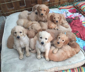 Goldendoodle Golden Doodle Puppies