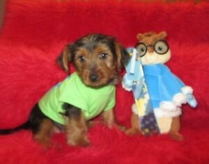 Chiot silky terrier