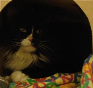 """Young Male Cat - Domestic Long Hair: """"Spencer"""""""