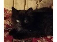 Kittens for Free - Tortoiseshell Female Short Hair, Black Male Long Hair