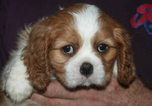 CAVALIER KING CHARLES SPANIEL PUPS BLACK AND TAN AND BLENHEIM St Arnaud Northern Grampians Preview