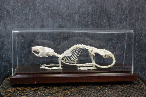 Real rat skeletons with case and base good crafts taxidermy, specimen education