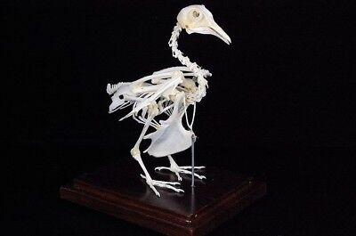 Real Dove pigeon skeleton in plastic case wood base, home decor specimen