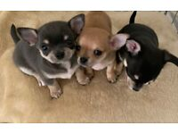 Chihuahua Puppy's For Sale Ready to Leave