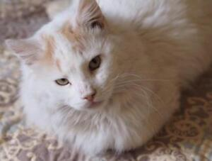 "Adult Male Cat - Domestic Long Hair (Buff & White): ""Whitey"""