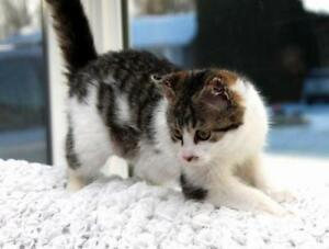 "Young Female Cat - Domestic Short Hair: ""Mistletoe"""