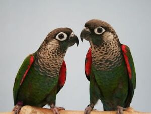 pearl conure baby parrot friendly handfed with free small cage