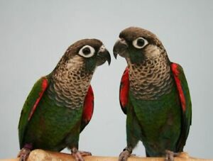 pearl conure baby parrot friendly handfed on sale at T T PETS