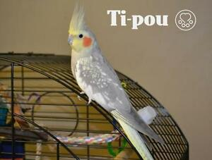 "Adult Female Bird - Cockatiel: ""Ti-pou"""