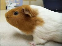 Guinea pigs for sale with hutch