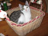 """Young Female Cat - Domestic Short Hair: """"Debbie"""""""