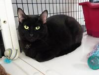 Young Female  - Domestic Short Hair-black-Siamese