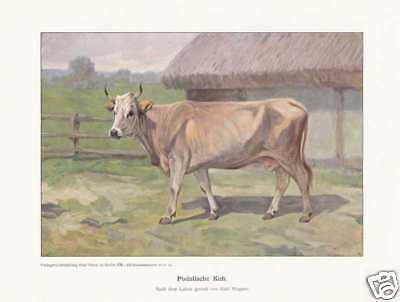 Podolische Kuh Rinderrassen FARBDRUCK von 1925 Reprint