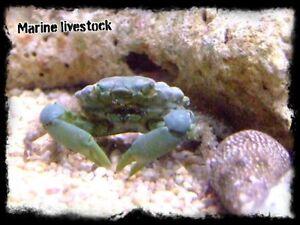 Green Emerald Mithrax Crab  Clean up Crew Algae Eater Marine Reef Aquarium