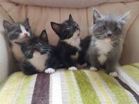Beautiful fluffy british shorthair mix kittens