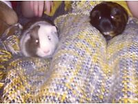 2 bonded male guinea pigs, plus cage and accessories.