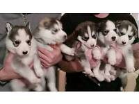 2 stunning boy husky pups. Ready to leave
