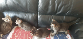 5 mixed bengal kittens. 3 boys. 2 girls